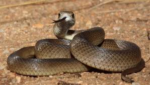 50 zmija u Žitorađi