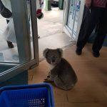 koala-u-apoteci