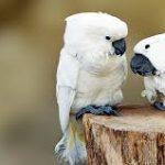 beli golubovi
