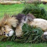 lav i jelka