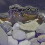 žabac romeo