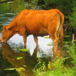 krava na jezeru