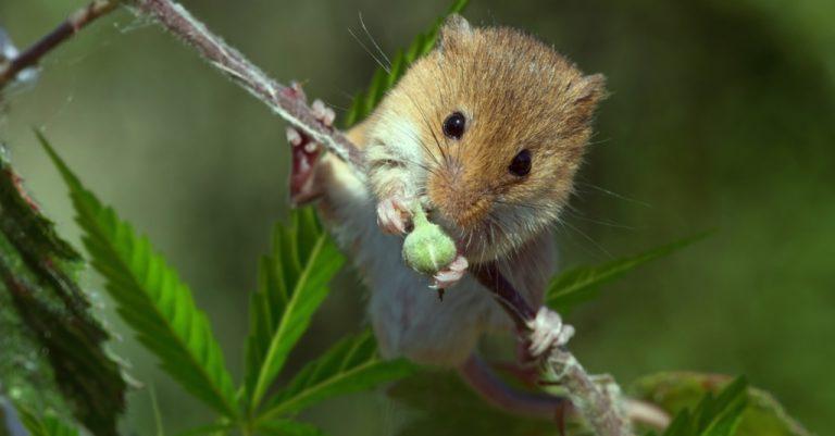 miš i marihuana
