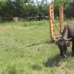 bugarska krava