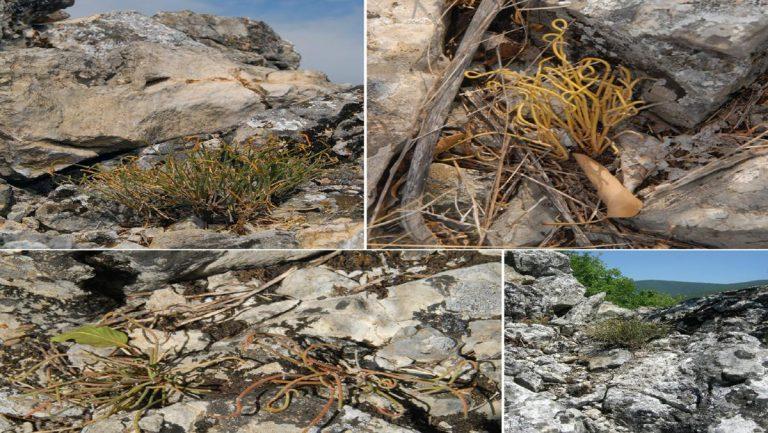 nova biljna vrsta stara planina