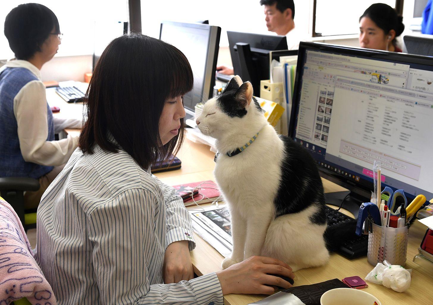 MAČKE U FIRMI SMANjUJU STRES – PRIMER IZ JAPANA